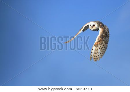 Barn Owl In Flight