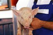 foto of piglet  - Pig farmer holding small piglet at farm - JPG