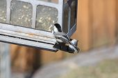 foto of chickadee  - Black - JPG