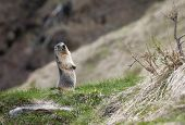 image of marmot  - marmot stands out of its den - JPG