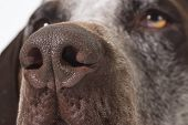 image of puppy eyes  - dog nose close up  - JPG