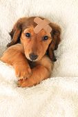 stock photo of wiener dog  - Longhair dachshund puppy wearing a band aid - JPG