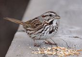 Постер, плакат: Eating Song Sparrow