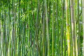 stock photo of bamboo leaves  - Asian green bamboo forest in spring blossom - JPG