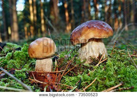 Two Mushroom Boletus Edulis