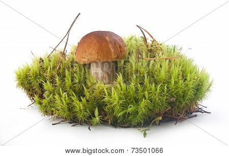 Cep In The Moss