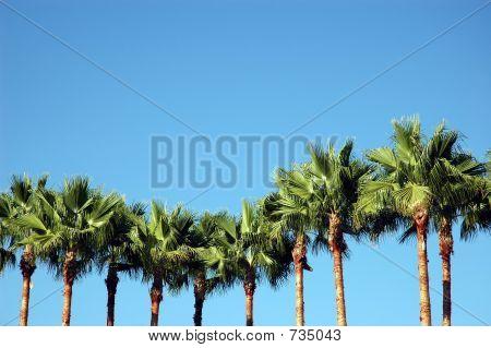 Línea de palmeras