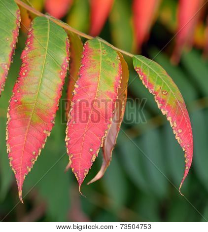 ripe mountain ash leaves  in the autumn time