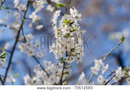 Cheery Blossom Flowers On Spring Day