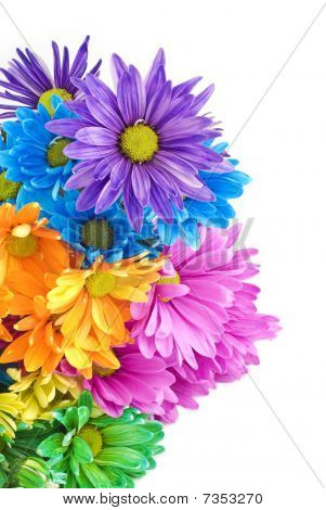 Bright Colored Daisies White Background