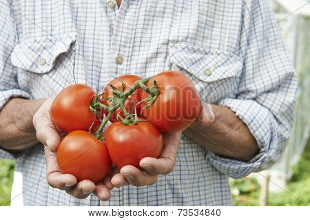 Close Up Of Man Holding Home Grown Tomatoes