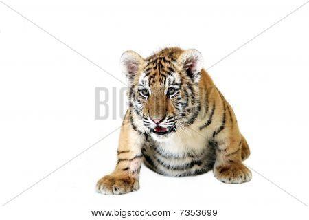 Tiger Cub On White