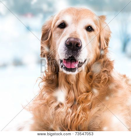 purebred golden retriever dog close-up  on outdoors in winter
