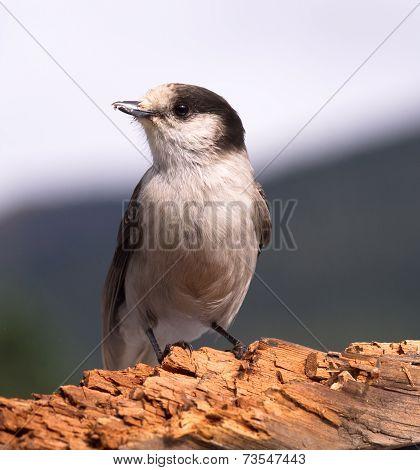 Grey Jay Whiskey Jack Bird Watching Animal Wildlife