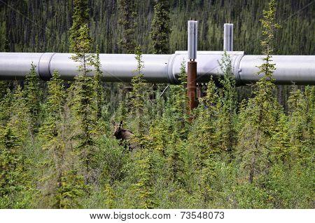 Moose under pipeline