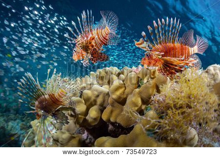 School of lion fish swimming over coral reef and watching their prey - school of tiny fish. Red Sea. Egypt