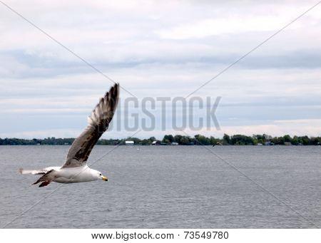 Kingston Gull In Flight Over The Lake 2008