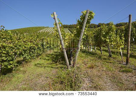 Vineyard - Vine Stocks