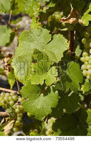 Vineyard - Vine Leaves