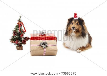 Shetland sheepdog with gifts and christmas tree over white background