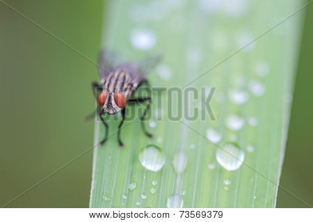 House Fly On Leaf Grass