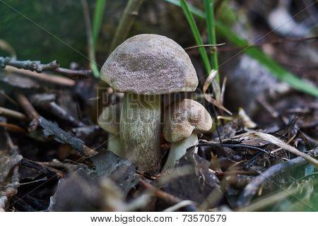 Boletus - Edible Mushroom.