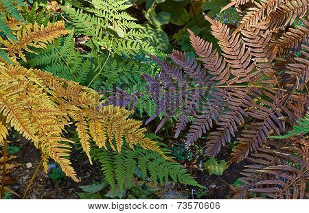 Athyrium Filix-femina  In The   Forest.