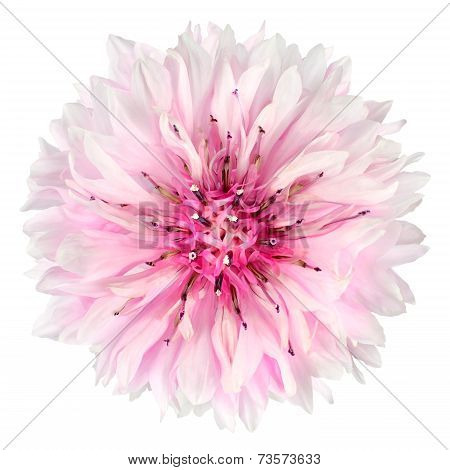 Pink Cornflower Flower Isolated On White Background