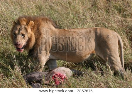 Male lion and prey animal
