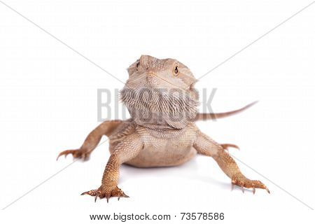 Central Bearded Dragon on white background