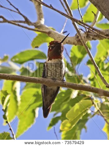 A Male Anna's Hummingbird Perched In A Tree