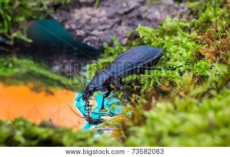 Carabus Drinking Water