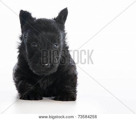 scottish terrier puppy sitting on white background - 6 weeks old
