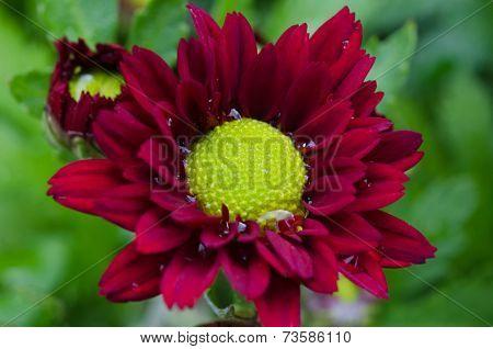 Vibrant Chrysanthemum Daisies Blomming