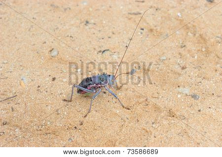 Armoured Ground Cricket