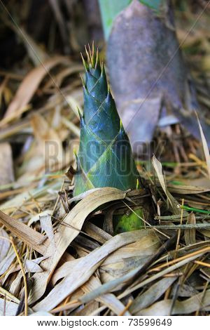 Small Bamboo shoots