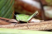 foto of hoppers  - Close view of grasshopper perching on green leaf - JPG