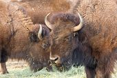 picture of budge  - American bison in the rocky mountains colorado usa - JPG
