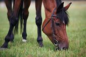 pic of horses eating  - Portrait of beautiful chestnut horse eating grass - JPG