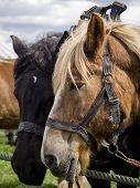 picture of saddle-horse  - Two beautiful saddled Belgian horses are waiting - JPG