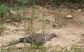 stock photo of lurch  - Large adult pigeon on the ground walking - JPG