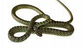 stock photo of green snake  - green snake on white background - JPG