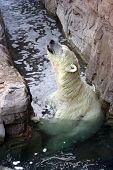 picture of polar bears  - Polar bear in the water with his head up.