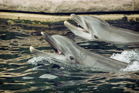 stock photo of cetacea  - Two trained Bottlenose dolphins in the marine aquarium.