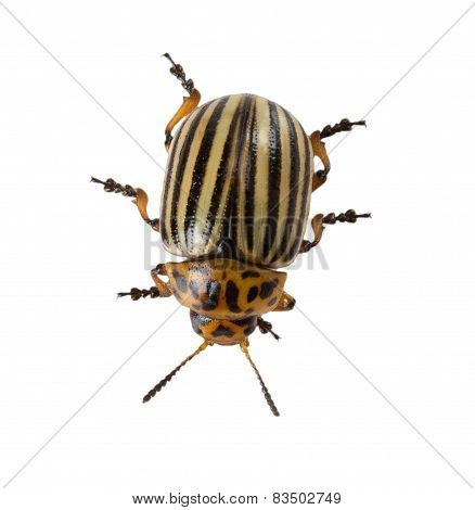 Colorado Potato Beetle Isolated On The White Background