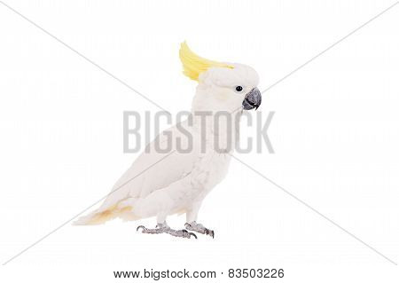Sulphur-crested Cockatoo, isolated on white