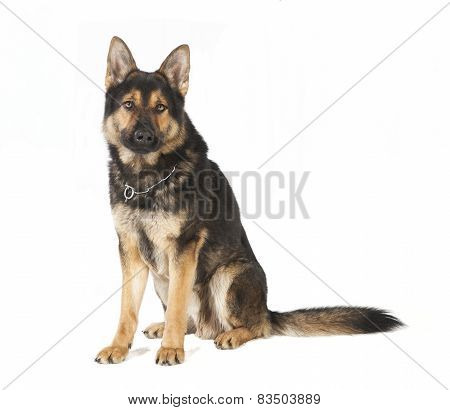 Old German Shepherd Dog Sitting