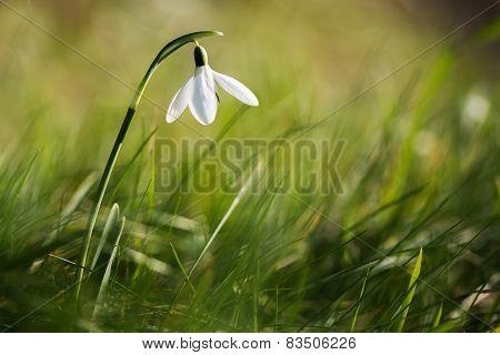 Snowdrop in grass