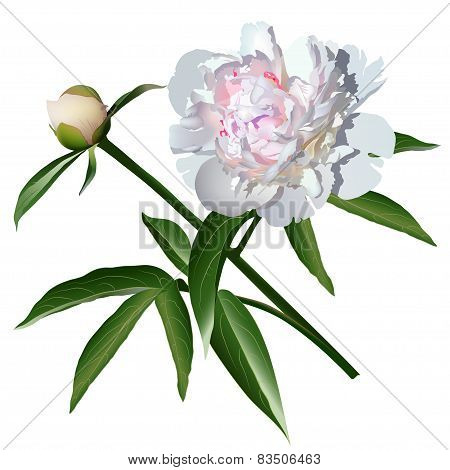 White Realistic Paeonia Flower With Leaves And Bud
