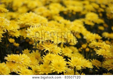 Chrysanthemum Flower Blooming In The Garden